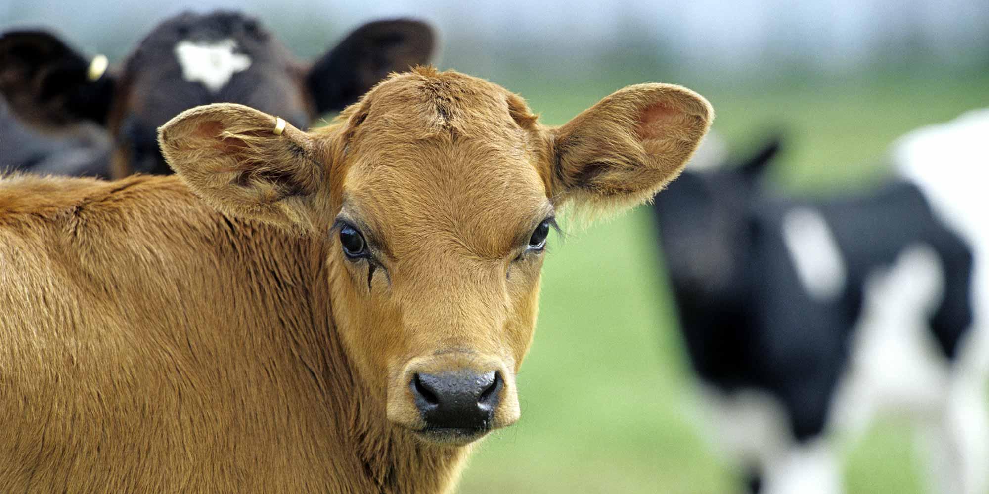 Dairy   Pastoral
