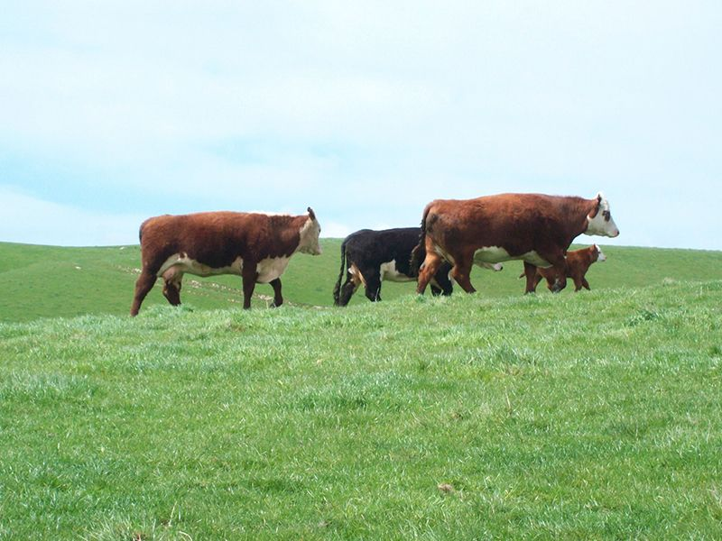 Stock grazing at Riverside Farm - BioAg